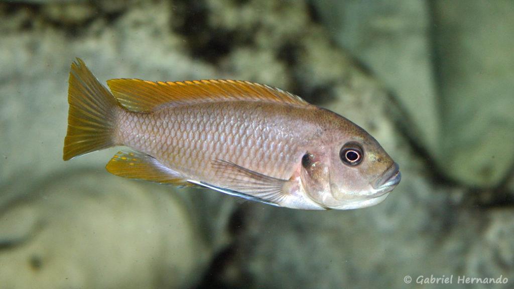 Maylandia greshakei, femelle en incubation (Club aquariophile de Vernon, juin 2004)