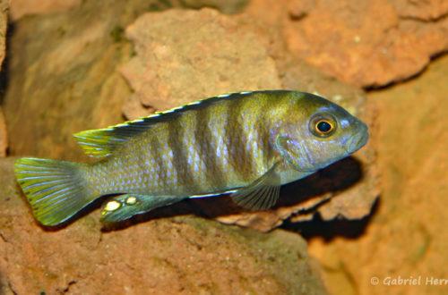 "Maylandia sp. ""Patricki"", variété de Jalo Reef (chez Pascal Chevalier, août 2006)"