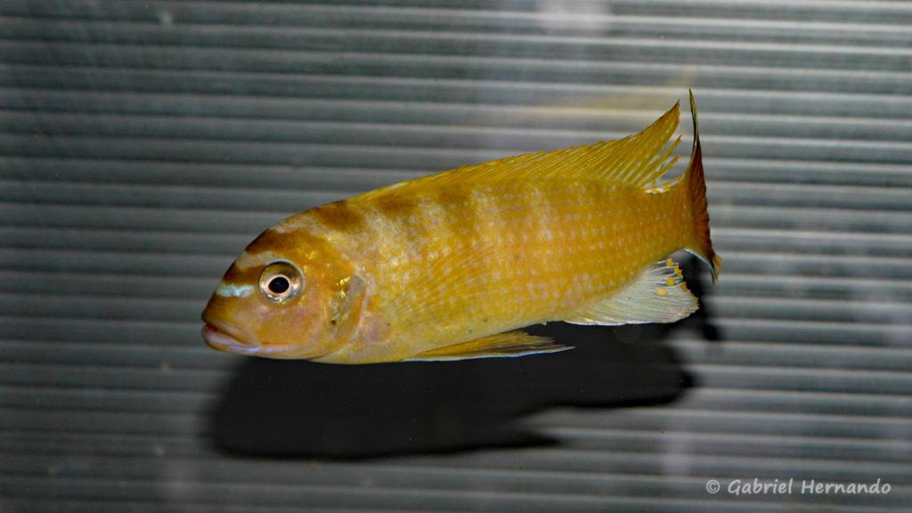 """Maylandia sp """"Zebra Gold"""", variété de Lion's Cove (Abysse, mars 2008)"""