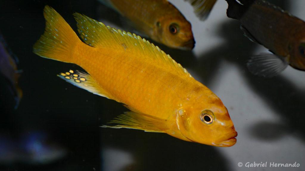 "Maylandia sp ""Zebra Gold"", variété de Ruarwe (Abysse, mars 2008)"