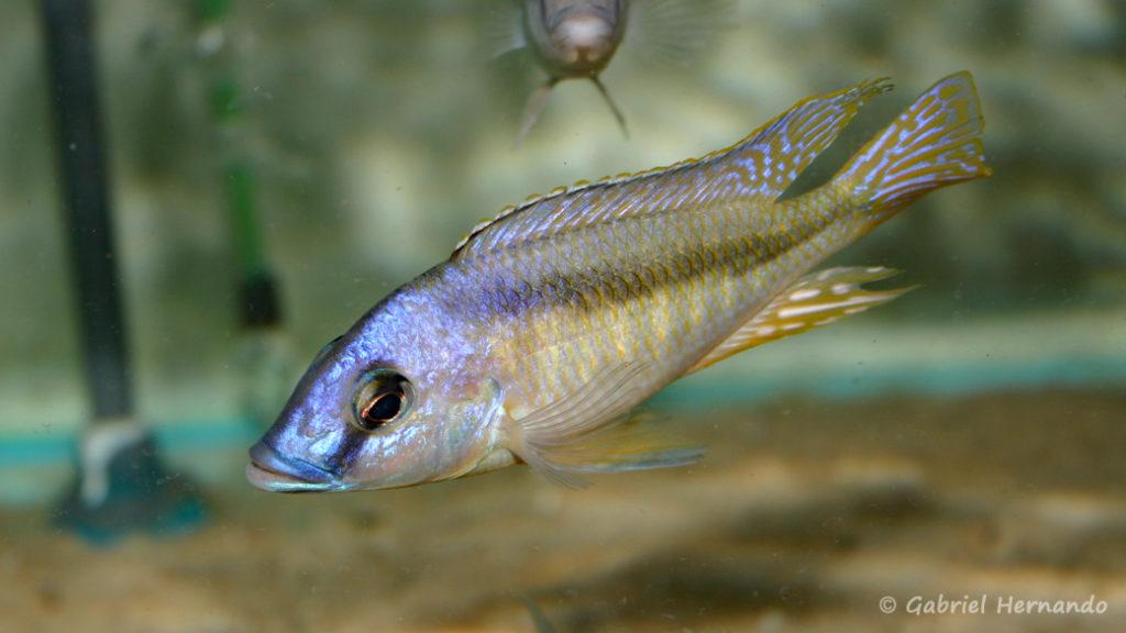Mylochromis melanotaenia, mâle (Verduijn Cichlids, mars 2006)