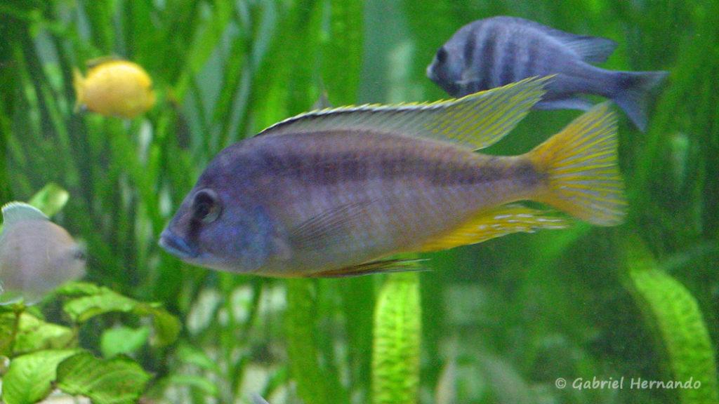 Mylochromis melanotaenia, mâle (juin, 2001)