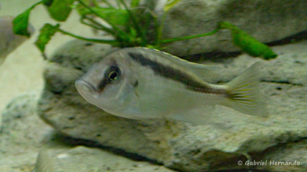 Mylochromis melanotaenia, femelle (juin, 2001)
