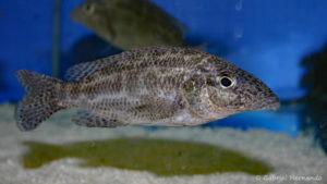 Nimbochromis linni (Abysse, février 2005)