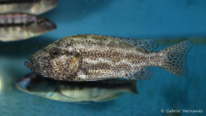 Nimbochromis polystigma (Abysse, septembre 2006)