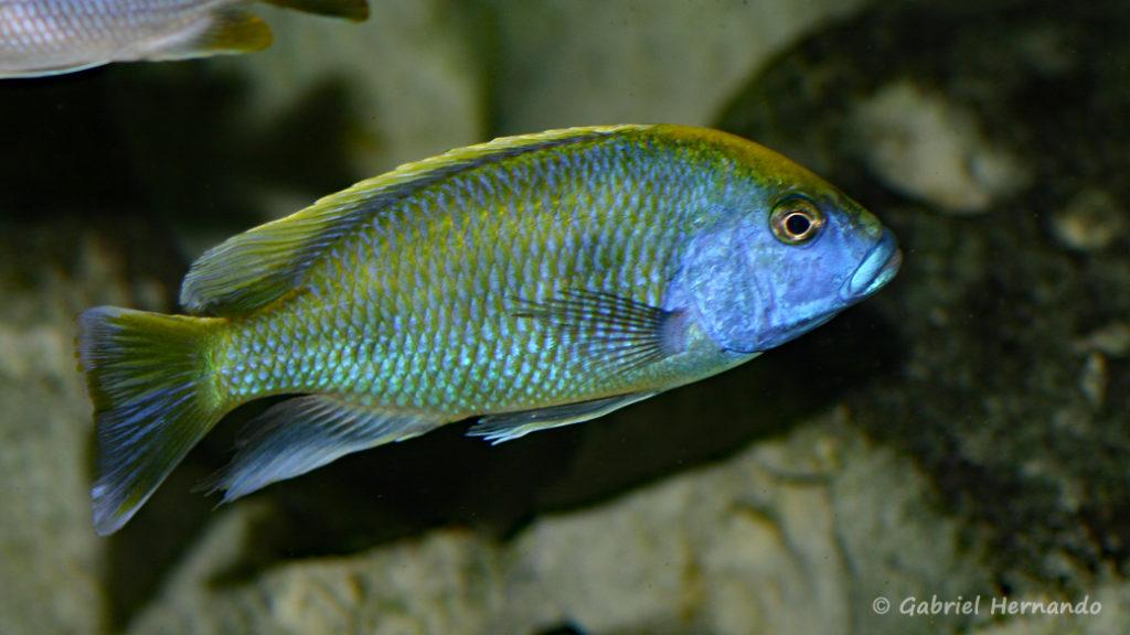 Nimbochromis venustus (Club aquariophile de Vernon, décembre 2013)