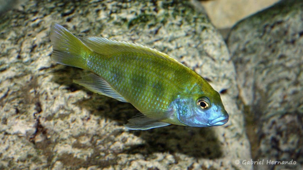 Nimbochromis venustus (Club aquariophile de Vernon, septembre 2008)