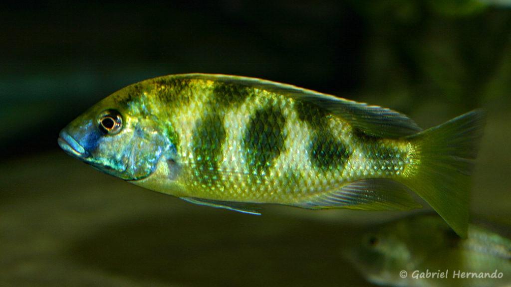Nimbochromis venustus (Club aquariophile de Vernon, décembre 2008)