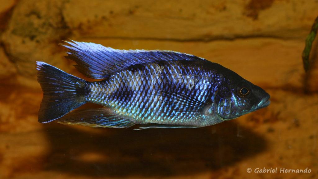 Otopharynx walteri, mâle (chez Gilles Garrier, mars 2008)