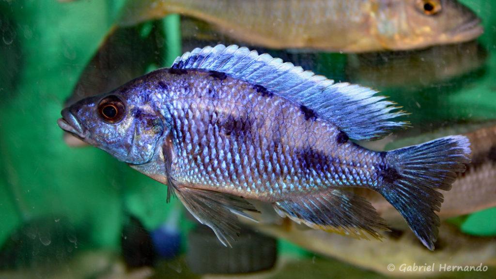 Otopharynx walteri, mâle (Abysse, février 2005)