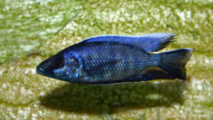 Otopharynx walteri, mâle (chez Gilles Garrier, novembre 2007)