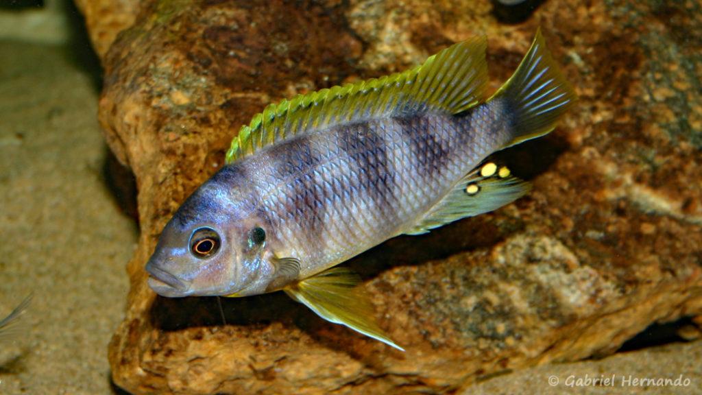 "Petrotilapia sp. ""Chitimba"" (Chez moi, février 2007)"