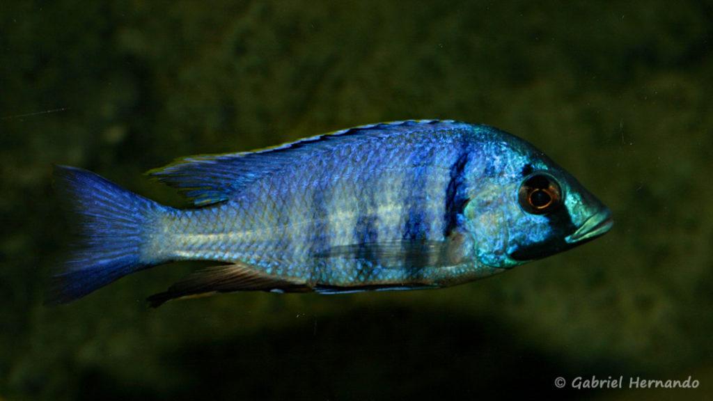 Placidochromis electra, variété de Likoma (Club aquariophile de Vernon, janvier 2008)
