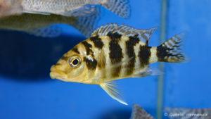 Placidochromis milomo (Abysse, février 2005)