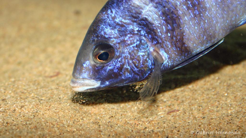 Placidochromis phenochilus, variété de Mdoka (chez moi, novembre 2004)