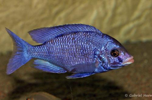 Placidochromis phenochilus, variété de Mdoka (chez moi, décembre 2007)