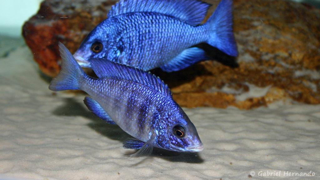Placidochromis phenochilus, variété de Mdoka (chez moi, juin 2004)