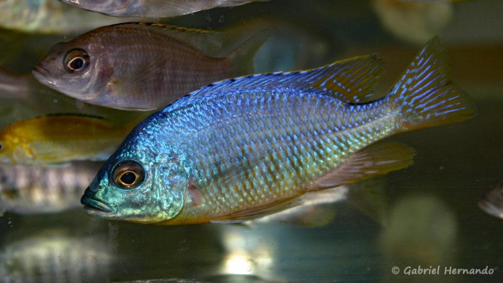 """Placidochromis sp.""""Jalo"""" (Vichy, congrès AFC 2007)"""