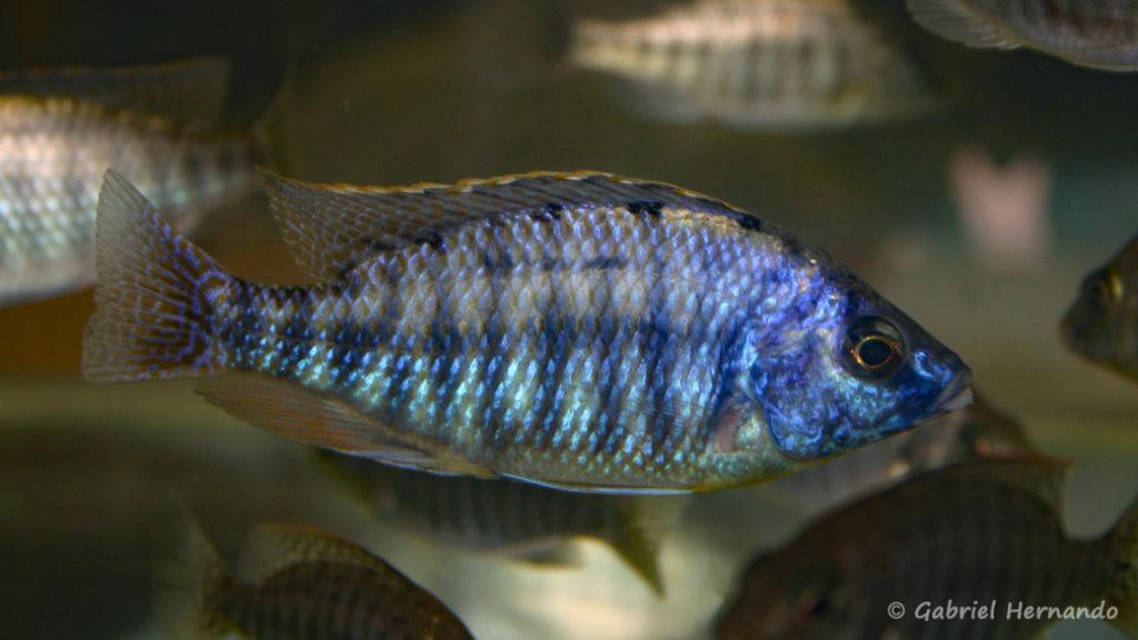Protomelas fenestratus (Vichy, congrès AFC 2007)
