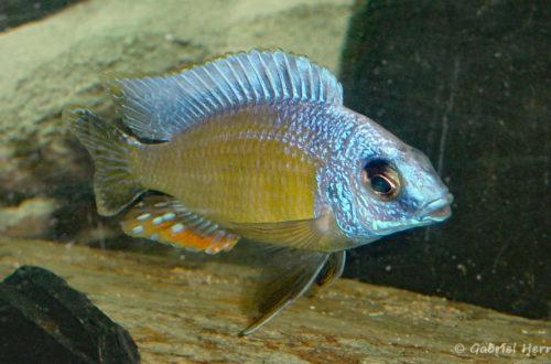 "Protomelas sp. ""Steveni Taiwan Reef"""