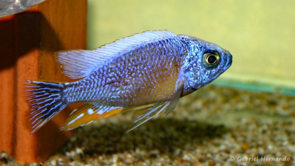 """Protomelas sp. """"Steveni Taiwan Reef"""" (Verduijn Cichlids, mars 2006)"""