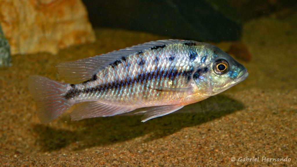 Protomelas taeniolatus, femelle de la variété de Namalenje (chez Gilles Garrier, décembre 2006)