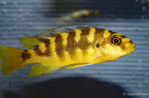 Pseudotropheus crabro (Abysse, février 2005)