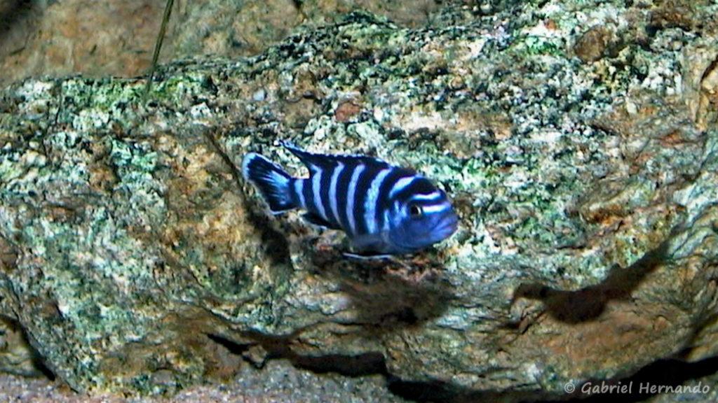 Pseudotropheus demasoni (chez moi, juin 2000)