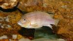 Maylandia ngarae, variété de Ngara (Chez moi, novembre 2004)