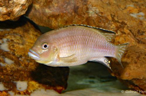 Pseudotropheus lanisticola, variété de Ngara (Chez moi, novembre 2004)
