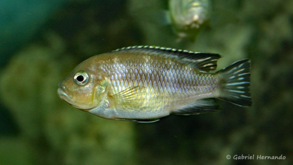 Pseudotropheus lanisticola, variété de Ngara (Club aquariophile de Vernon, juin 2004)