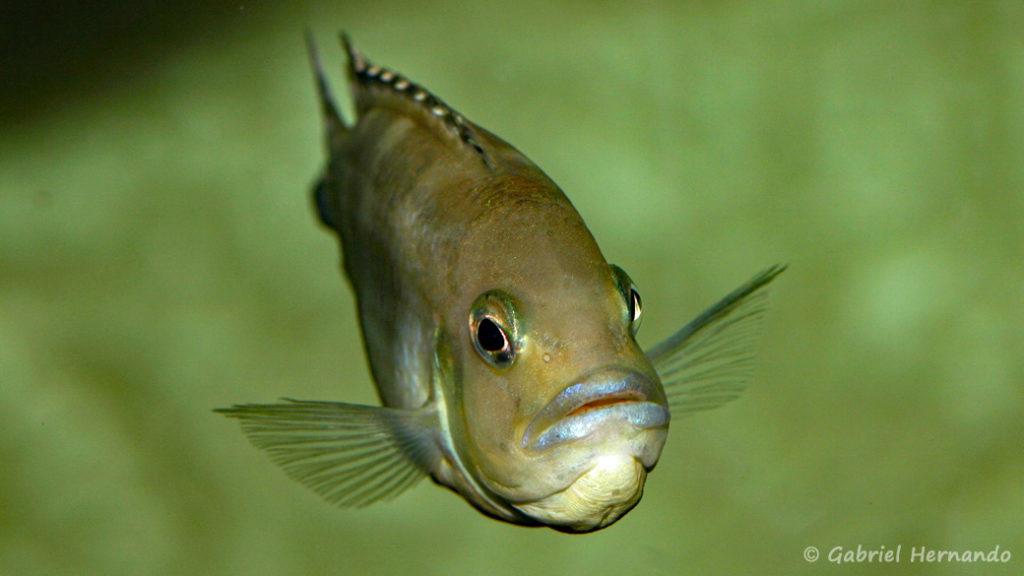 Pseudotropheus lanisticola,, femelle en incubation (Chez moi, mars 2005)