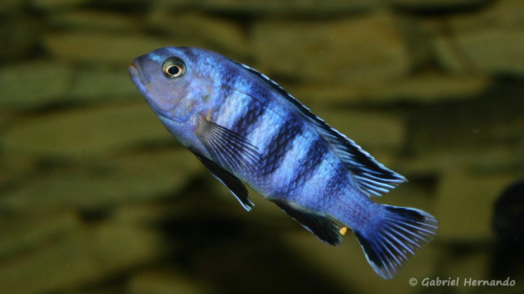 Pseudotropheus saulosi, mâle (chez Pascal Chevalier, août 2006)