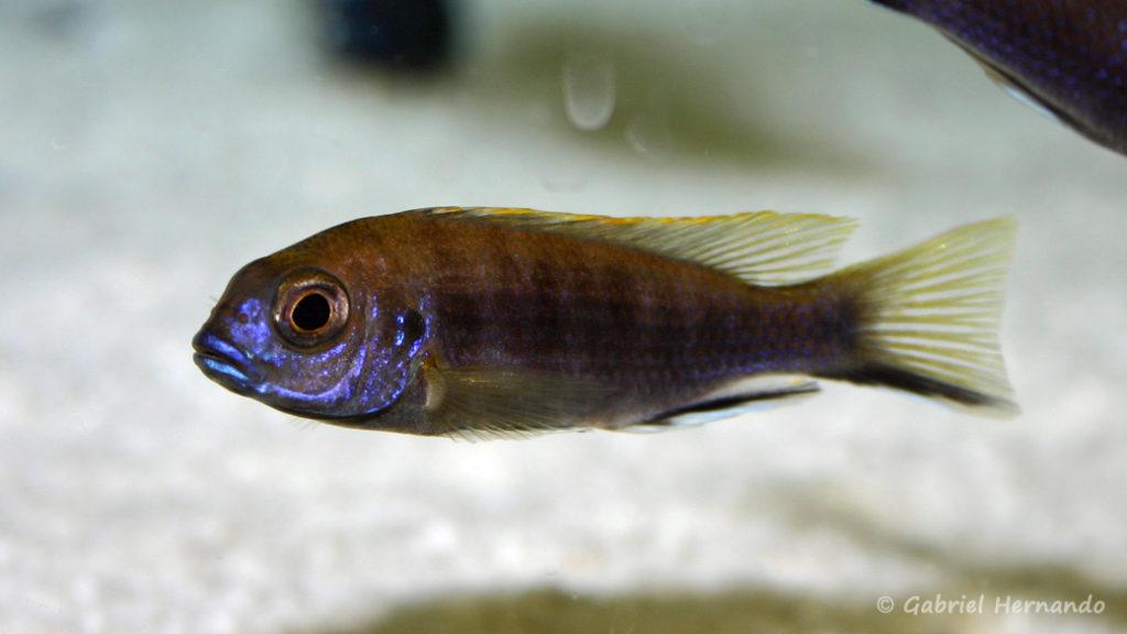"""Pseudotropheus sp. """"acei"""", variété de Kasinda (Abysse, février 2005)"""