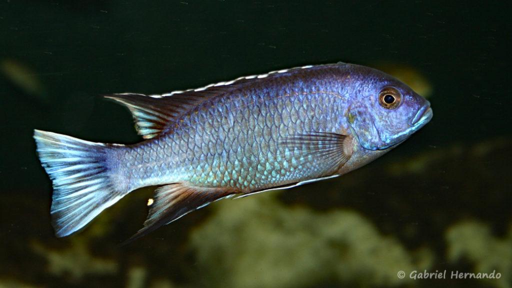 """Pseudotropheus sp. """"acei"""", mâle de la variété de Ngara, (Club aquariophile de Vernon, juin 2004)"""