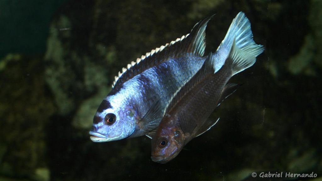 """Pseudotropheus sp. """"acei"""", variété de Ngara, couple en parade avec femelle en incubation (Club aquariophile de Vernon, novembre 2004)"""