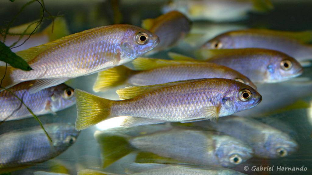 """Pseudotropheus sp. """"acei"""", variété de Msuli Point (Vichy, Congrès AFC 2004)"""