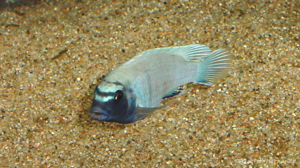 """Pseudotropheus sp. """"polit"""" (chez moi, mais 2005)"""