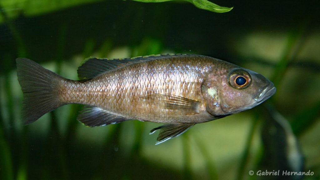 Sciaenochromis fryeri, femelle (chez moi, août 2004)