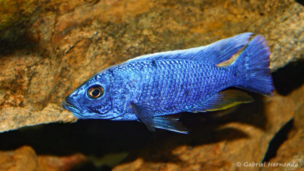 Sciaenochromis fryeri, mâle (chez moi, août 2004)