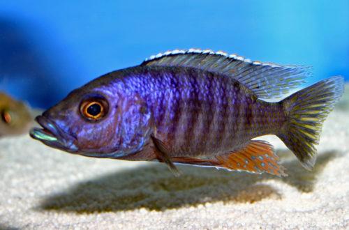 Stigmatochromis modestus (Abysse, février 2005)