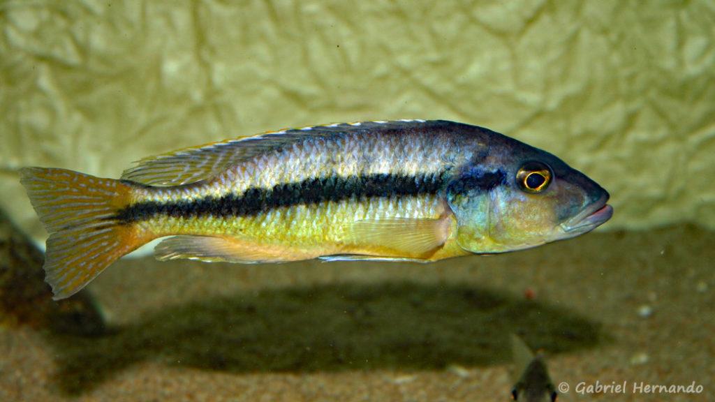 Taeniochromis holotaenia, mâle (chez moi, janvier 2007)