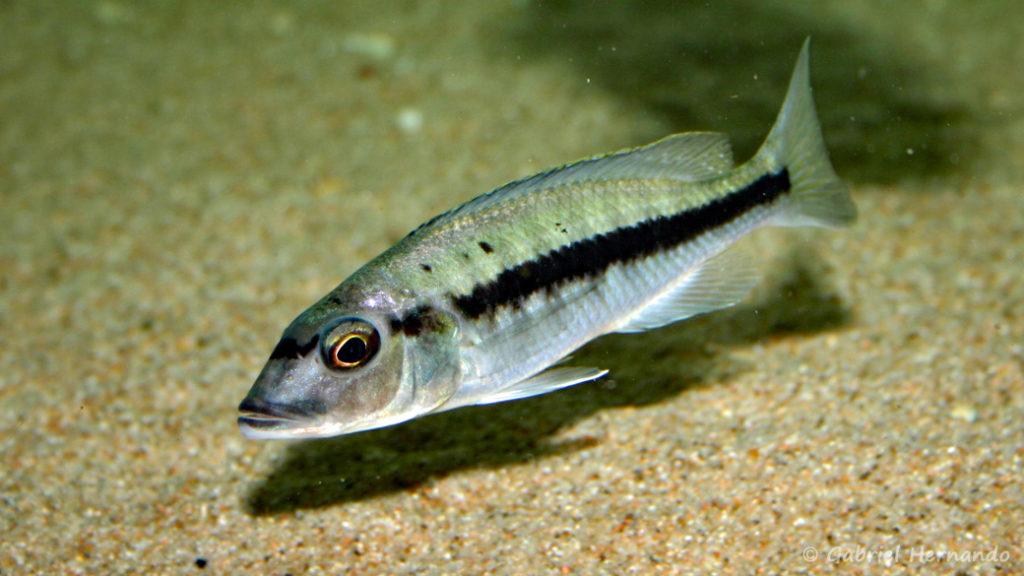 Taeniochromis holotaenia, femelle (chez moi, janvier 2007)