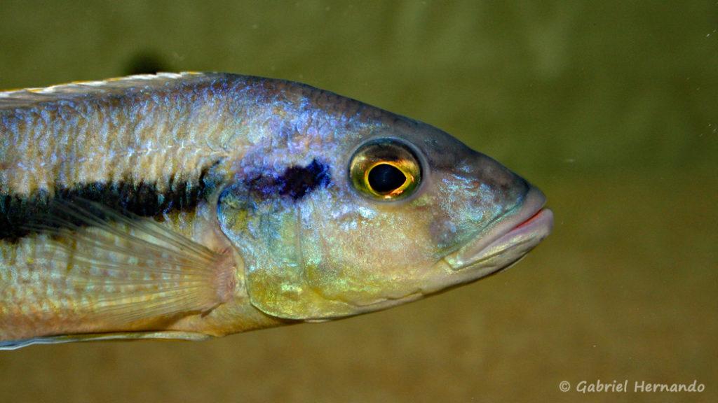 Taeniochromis holotaenia, mâle (chez moi, février 2007)