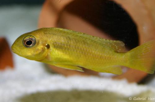 """Tropheops sp. """"Chitimba"""", jeune spécimen (Abysse, février 2005)"""