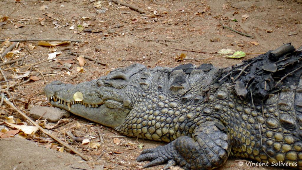 Crocodylus niloticus, in situ à Mua