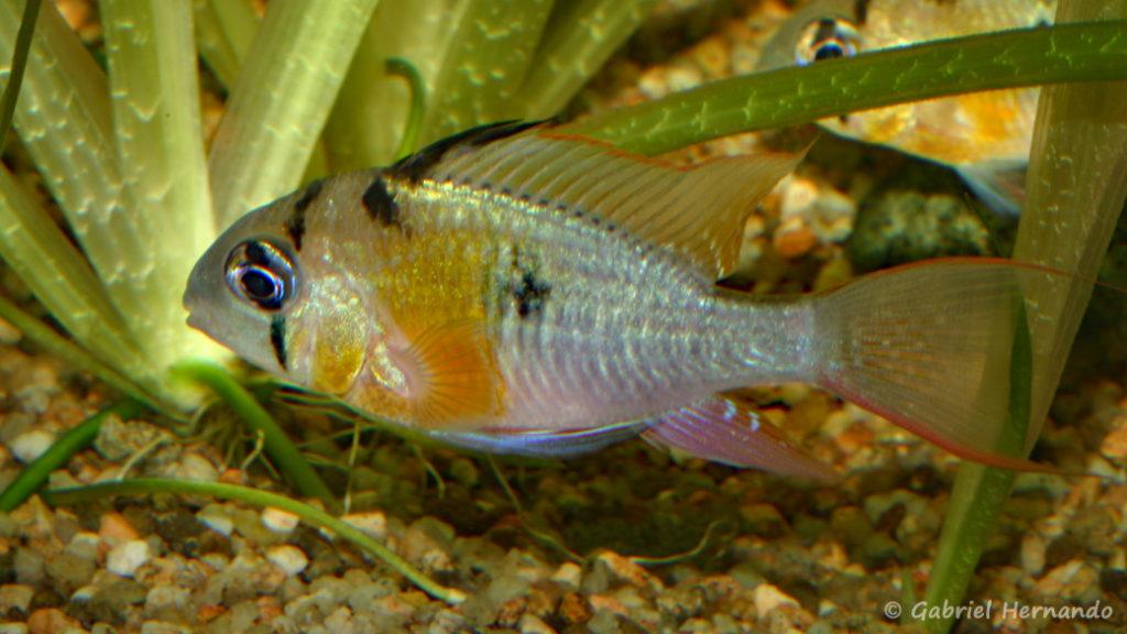 Mikrogeophagus altispinosus (Club aquariophile de Vernon, septembre 2009)