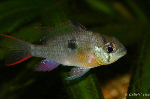 Mikrogeophagus altispinosus (Club aquariophile de Vernon, juillet 2008)