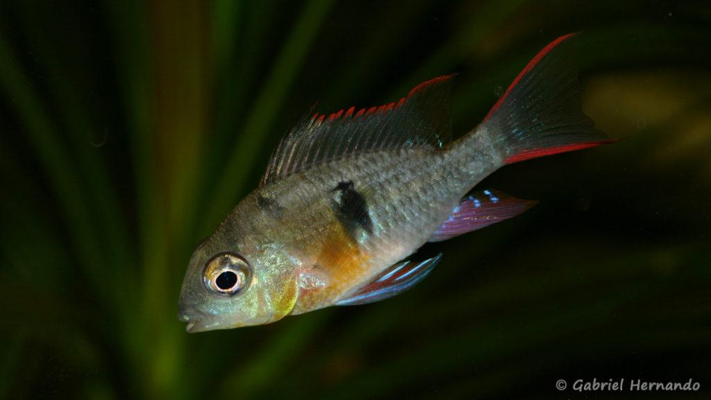 Mikrogeophagus altispinosus (Club aquariophile de Vernon, janvier 2008)
