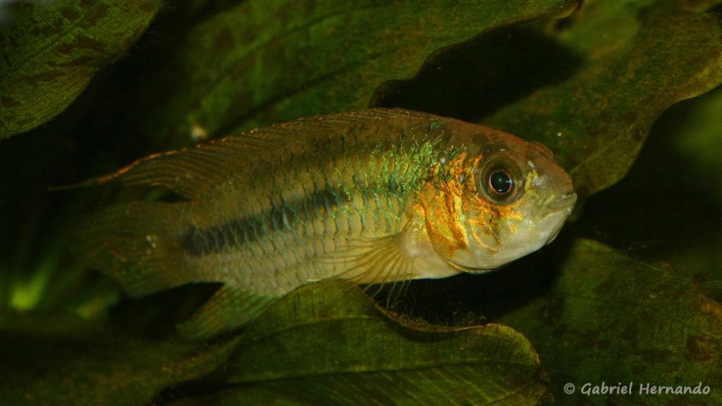 Nannacara aureocephalus (Club aquariophile de Vernon, janvier 2008)